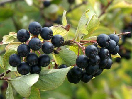 fructe de padure care ajuta la arderea grasimilor)
