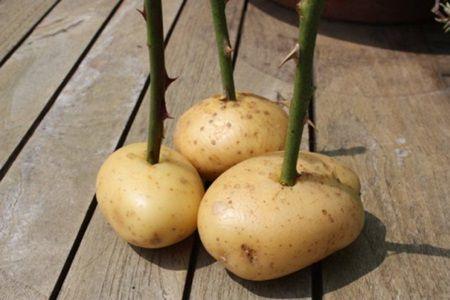 Trebuie sa incerci! Motivul pentru care a infipt un trandafir intr-un cartof face furori in intreaga lume