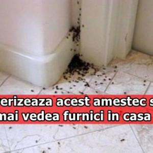 Pulverizeaza acest amestec si nu vei mai vedea furnici in casa ta! Nici nu te gandeai ca este atat de simplu