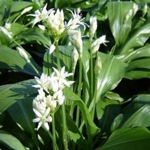 Usturoiul salbatic sau leurda, planta minune care curata corpul de toxine in primavara