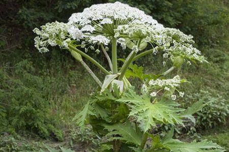Alerta maxima in toata tara: Nu atingeti aceasta planta. Este extrem de periculoasa