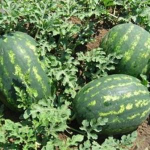 Pepenele de la Fukushima: Uite cum arata fructul mutant, afectat de radiatii!