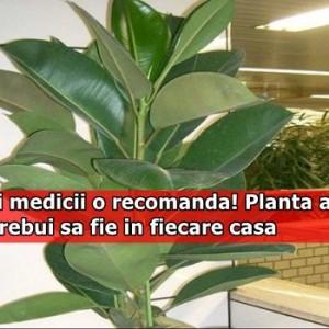 Toti medicii o recomanda! Planta asta ar trebui sa fie in fiecare casa