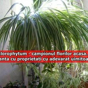 Chlorophytum – campionul florilor acasa. Planta cu proprietati cu adevarat uimitoare