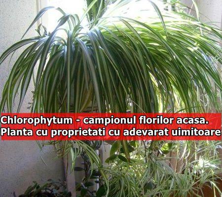 Chlorophytum - campionul florilor acasa. Planta cu proprietati cu adevarat uimitoare