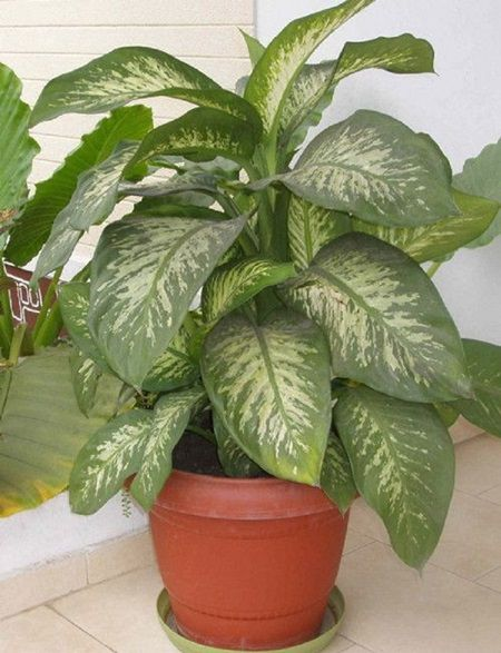 planta floare main Ai asa ceva in casa? Aceasta planta poate ucide un copil in mai putin de un minut, iar pe adulti in 15 minute!