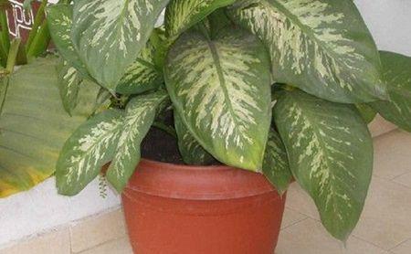 planta floare Ai asa ceva in casa? Aceasta planta poate ucide un copil in mai putin de un minut, iar pe adulti in 15 minute!
