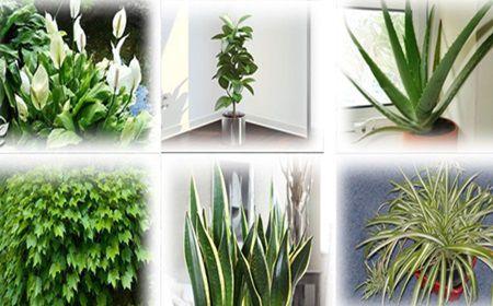 Aceste plante sunt bombe de oxigen. Trebuie neaparat sa ai cel putin una in casa ta